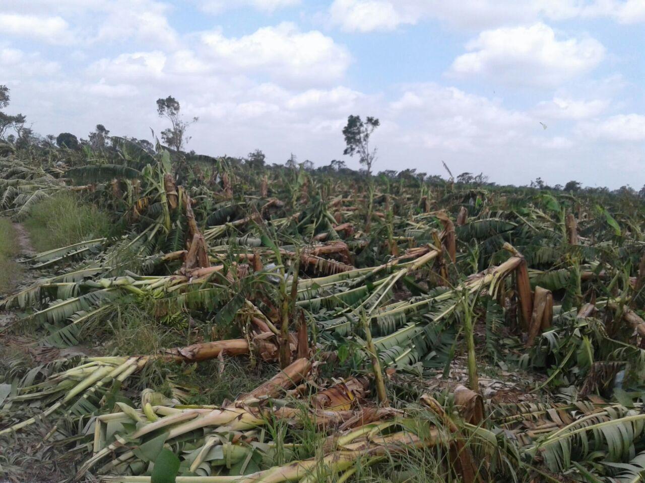 El hurac n fue implacable los platanares fueron for Noticias naturaleza